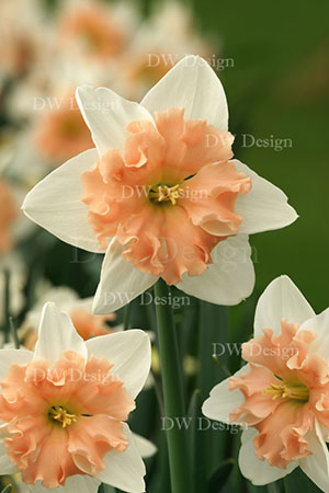narcissus dear love